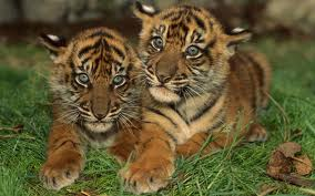 for the Sumatran tigers