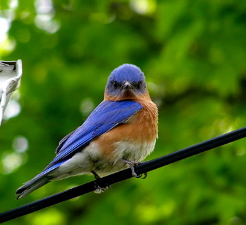 a blue bird on a branch from public domain